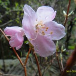 透き通る様なピンクの花びらに昨夜の雨の露が残っている。