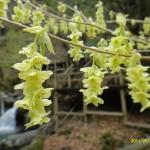 緑がかった黄色がきれい!!土佐水木(とさみずき)の花。
