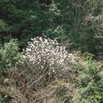 真白な花は辛夷(こぶし)。今年は春が遅くて同時に咲きました。
